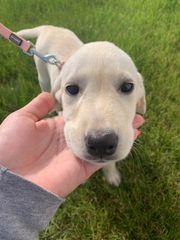 Süsse Labrador Welpen