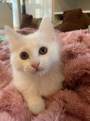 Schneeweißes Edelmix Kitten Khao Manee -