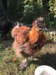 zwei Zwergseidenhühner zu Verkaufen