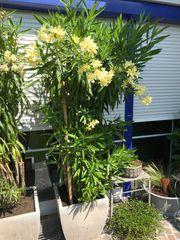 Oleander 2 Stk