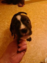 Boxer mix Welpe