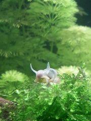 Yoda Schnecke Spitzschlammschnecke fürs Aquarium
