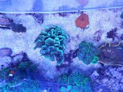 Korallen Meerwasser Salzwasser Pavona decussata