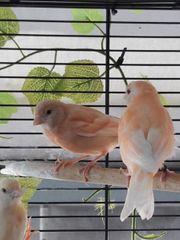 1 Satinet Rot Mosaik Weibchen
