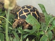 Indische Sternschildkröten NZ 2020 abzugeben