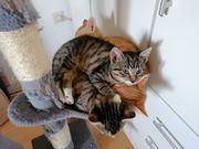 3 zuckersüße Kitten ab sofort