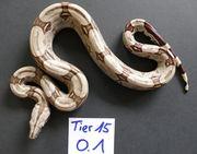 Boa Constrictor Constrictor Brasilien