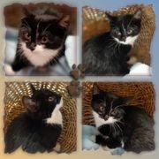Wunderschöner Baby Kater Kitten geimpft
