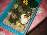 kleine griechische Landschildkröten Thb