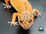 Leopardgecko Mandarine Tangerine Weibchen NZ