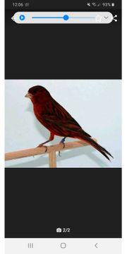Kanarienvogel erst lesen