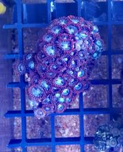 Korallenableger 100 Stück