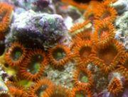 Meerwasser Korallen Anemonen Zoas Ableger