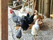 Hühner verschiedener Rassen