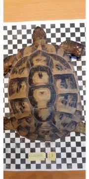 Griechische Landschildkröte weiblich eierlegend adult
