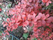 Blutberberitze Wald-Gaisbart Mahagoni Bonsai-Eiche u