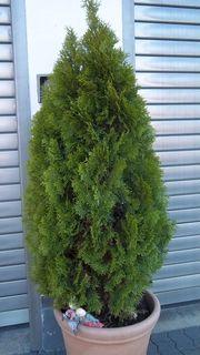 4 schön gewachsene Thuya Pflanzen