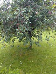 1Kg Bio Birnen vom Garten