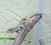 0 1 Lygodactylus williamsi - Himmelblauer