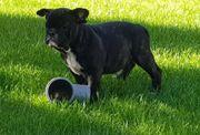 Englische Bulldogge English Bulldog Welpe