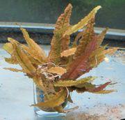 Aquarium Auflösung Pflanzen Cryptocorina