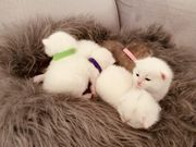 Bkh mix kitten zuckersüß weiß