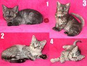 BKH Kätzchen Kater Kitten Baby