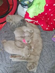 zuckersüße Scotish Fold kitten