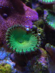 Meerwasser Korallen Zoa Play Salzwasser
