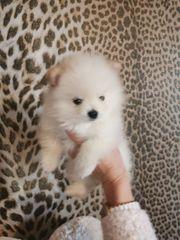 Pomeranian Mini Welpen