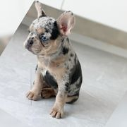 französische bulldogge Blue Merle Tan