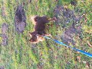 Deckrüde reinrassiger Chihuahua Schoko Deckrüde