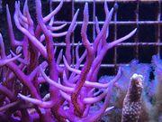 Ableger Koralle Meerwasser