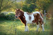 Verschiedene brave Ponys zu verkaufen