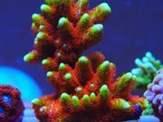 Montipora Forest Fire Koralle Meerwasser