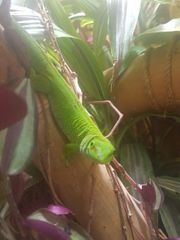 Phelsuma Grandis Madagaskar Taggecko 1