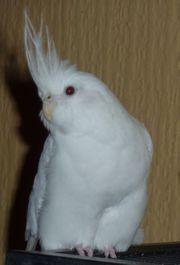Weißer Nymphensittich Vogel entflogen vermisst