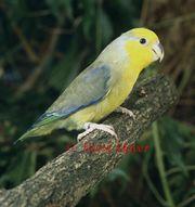 Gelbmasken-Sperlingspapagei