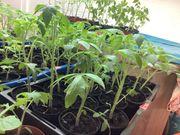 Tomaten und Peperoni abzugeben