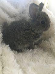 Kaninchen Baby minilop Löwenkopf
