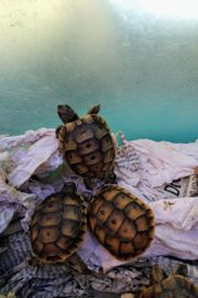 Landschildkrötenbabys
