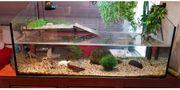 Zwei Moschusschildkröten komplett mit Aquarium