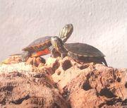 Südliche Zierschildkröten Chrysemys Picta Dorsalis