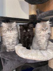 Perser-BLH--Kitten-Babies