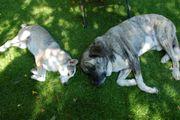 Welpe Junghund bis 6 Monate