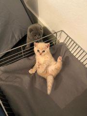 süße BKH - Kitten suchen neues