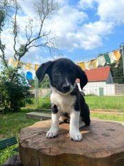 Ein Junghund 14 Wochen alt