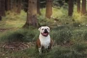 Jason Old English Bulldogge ca