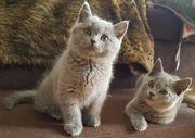 BKH und BLH Kitten suchen
