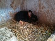 Loh Kaninchen Zippe